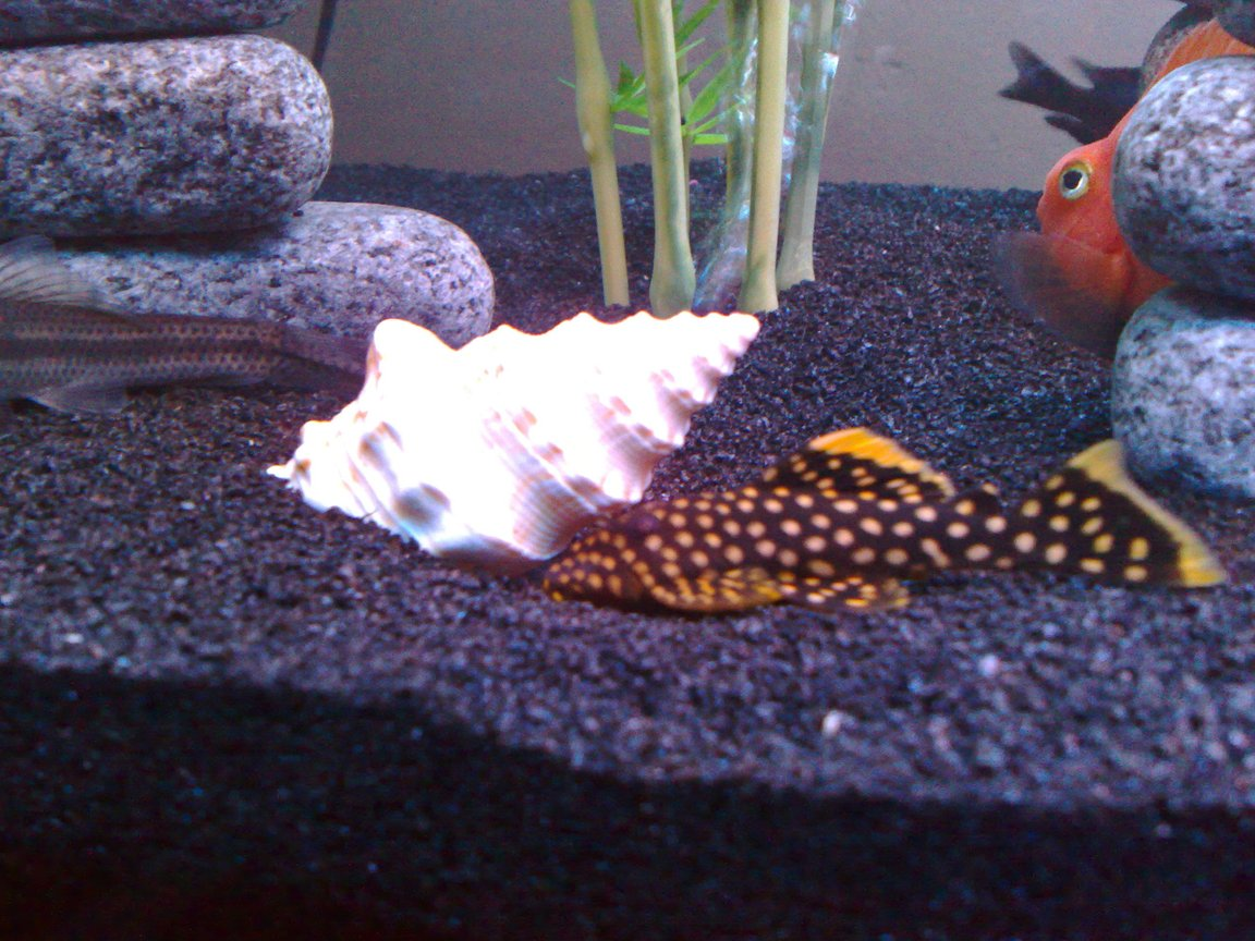 freshwater fish - baryancistrus sp. - gold nugget pleco (l-18) stocking in 80 gallons tank - Gold Nugget