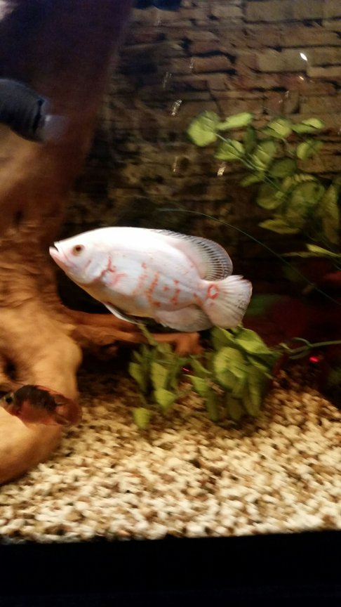 freshwater fish stocking in 80 gallons tank - albino oscar the boss of the tank
