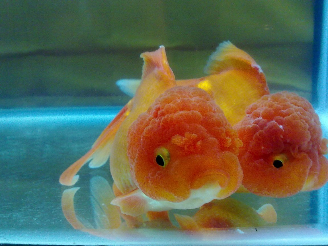 freshwater fish stocking in 30 gallons tank - Oranda Goldfish with True Lionhead