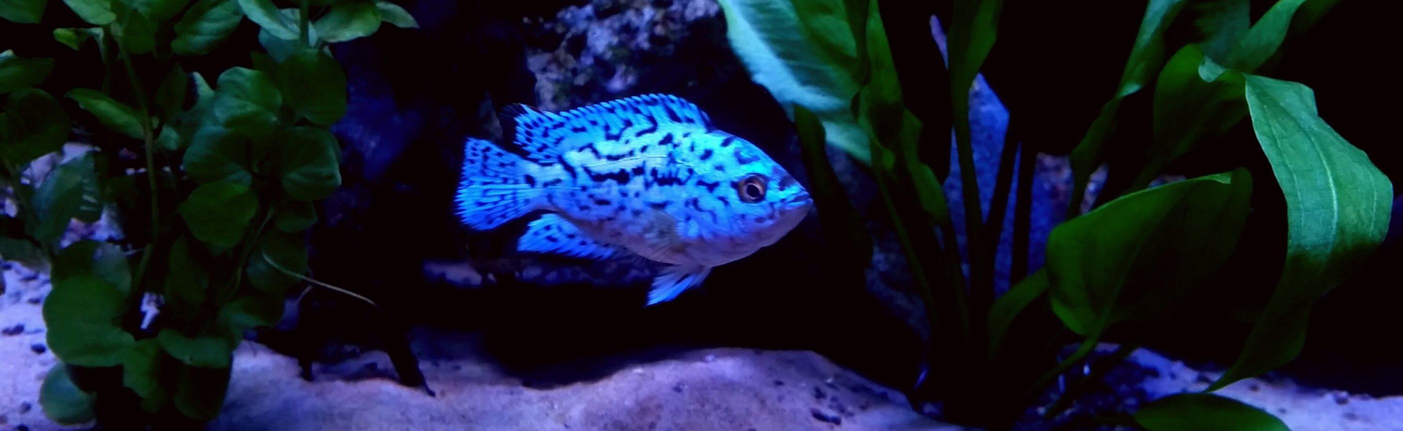 freshwater fish stocking in 90 gallons tank - Electric blue jack dempsey