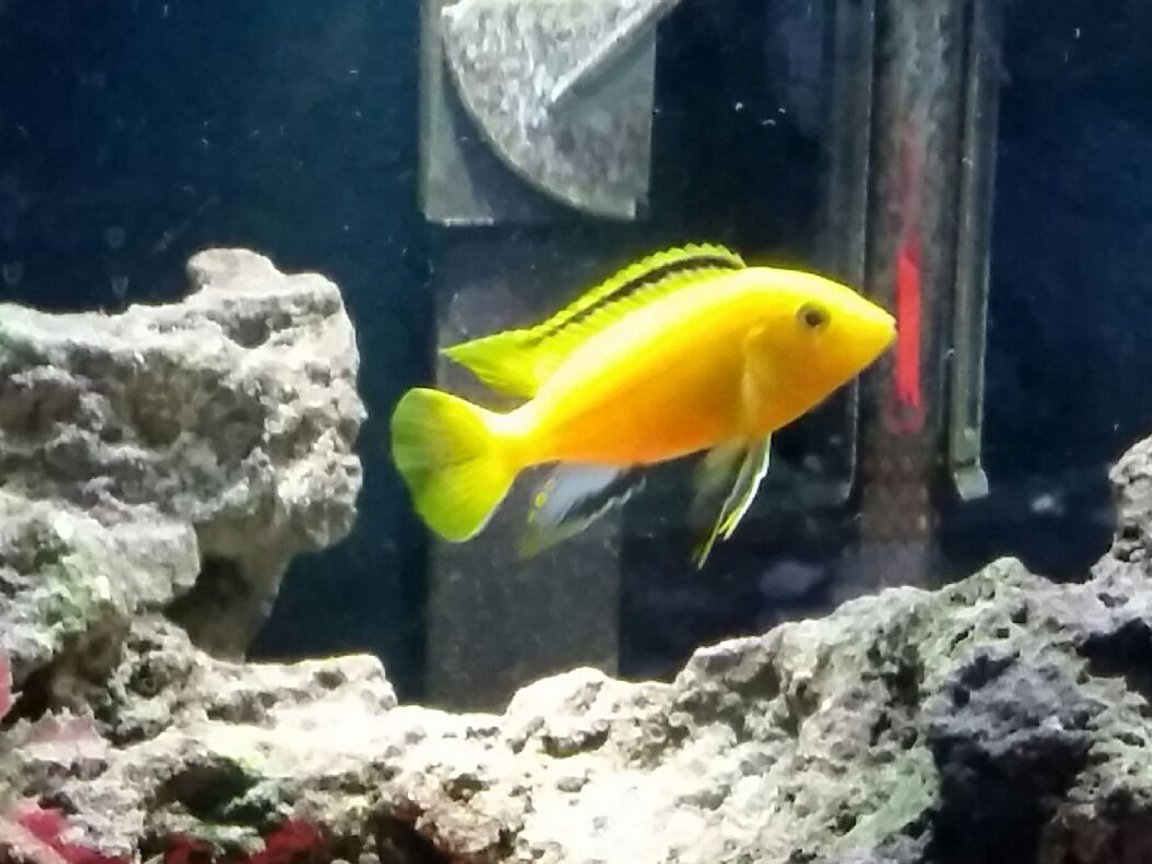 "freshwater fish stocking in 29 gallons tank - George, 3.25"" dominate male"