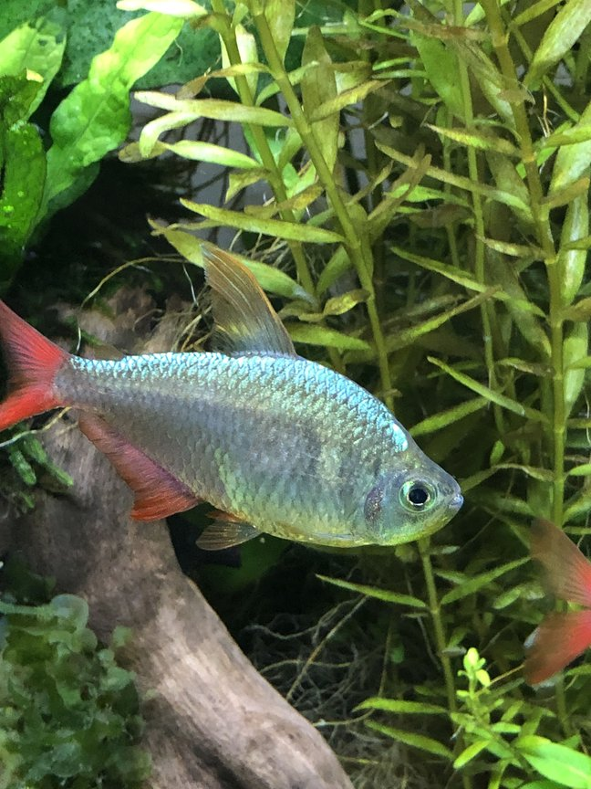 freshwater fish stocking in 29 gallons tank - Colombian tetra