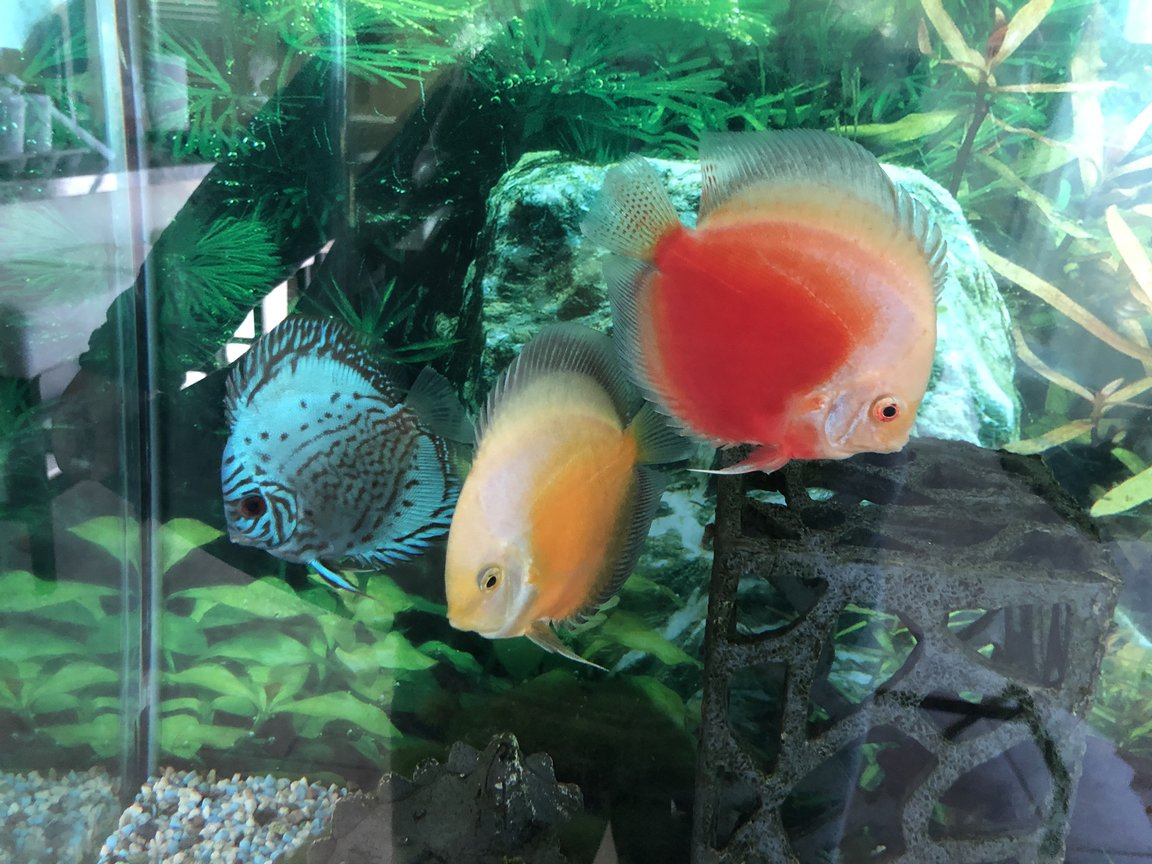 freshwater fish stocking in 60 gallons tank - Discus friends :)