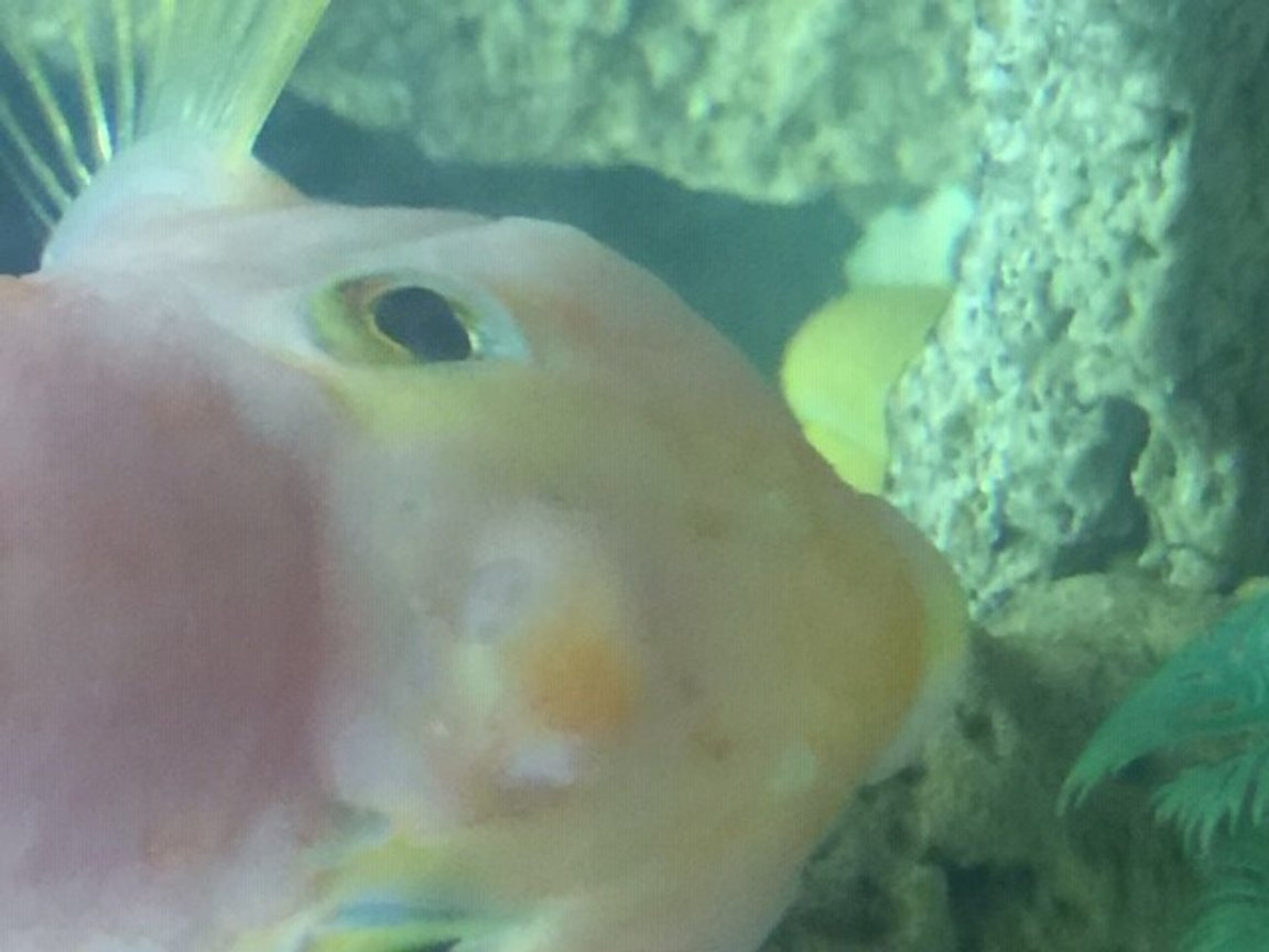 freshwater fish stocking in 50 gallons tank - What is this bump on his forehead? I'm very concerned.