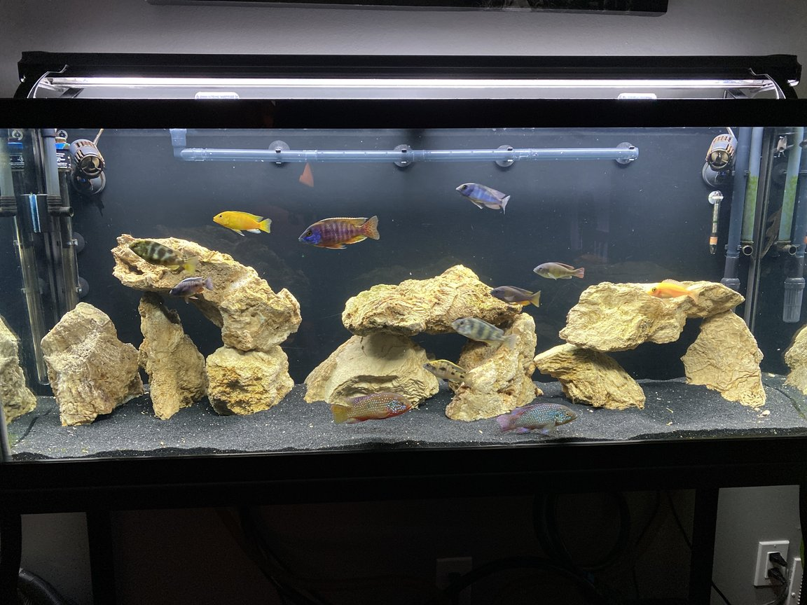 freshwater fish stocking in 55 gallons tank - 65gal Community Tank (Cichlids)