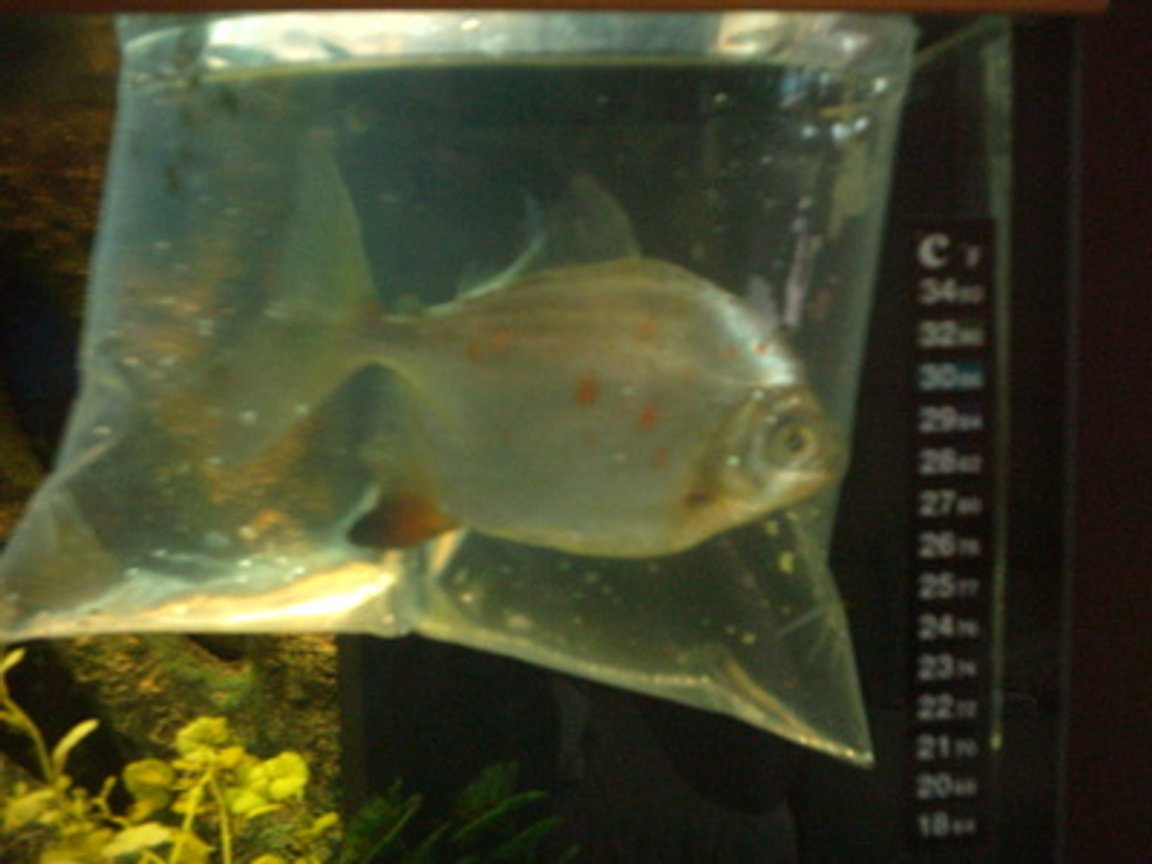freshwater fish - metynnis argenteus - silver dollar stocking in 66 gallons tank - my red hook metynnis