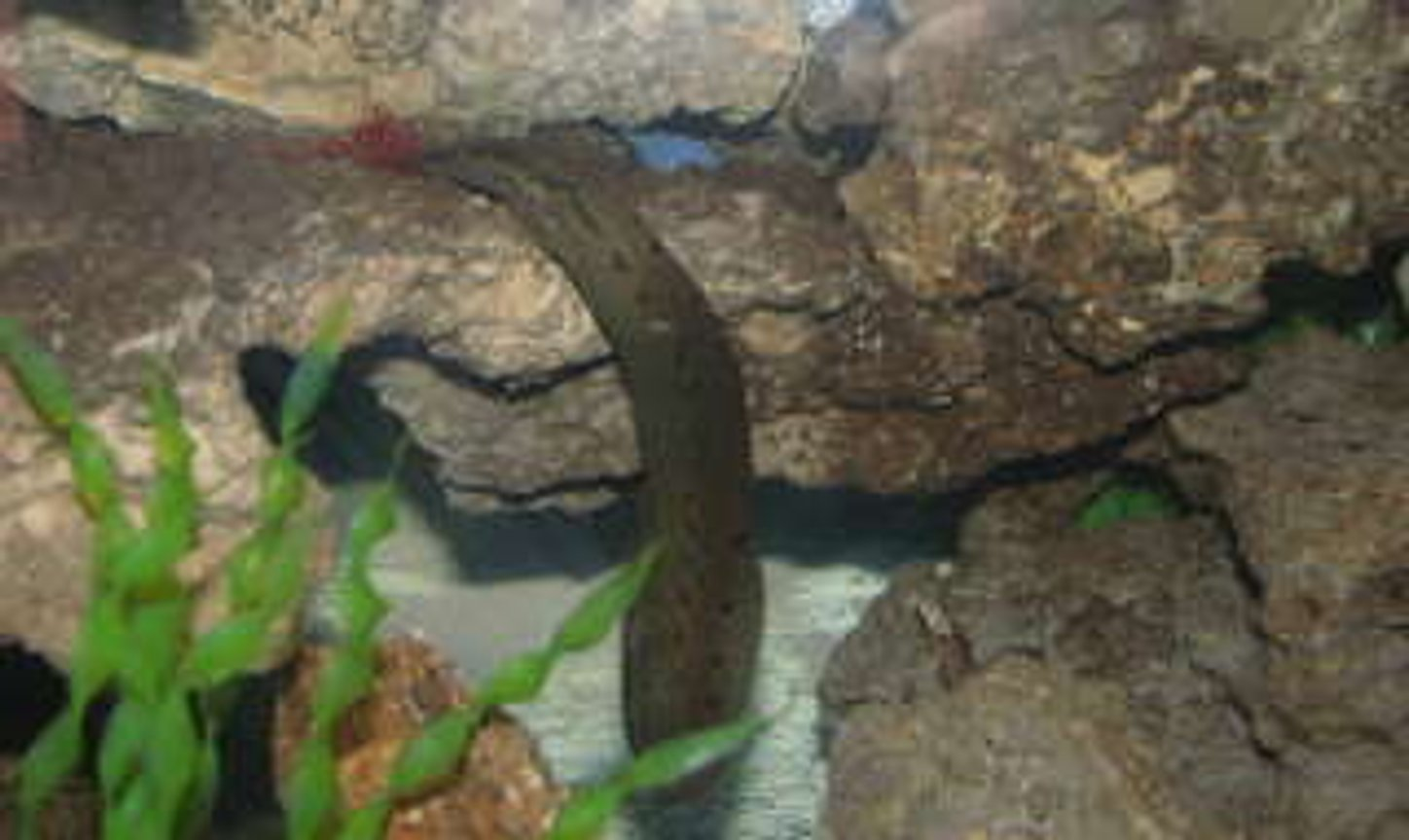 freshwater fish - mastacembelus armatus - tire track eel stocking in 55 gallons tank - eel eating