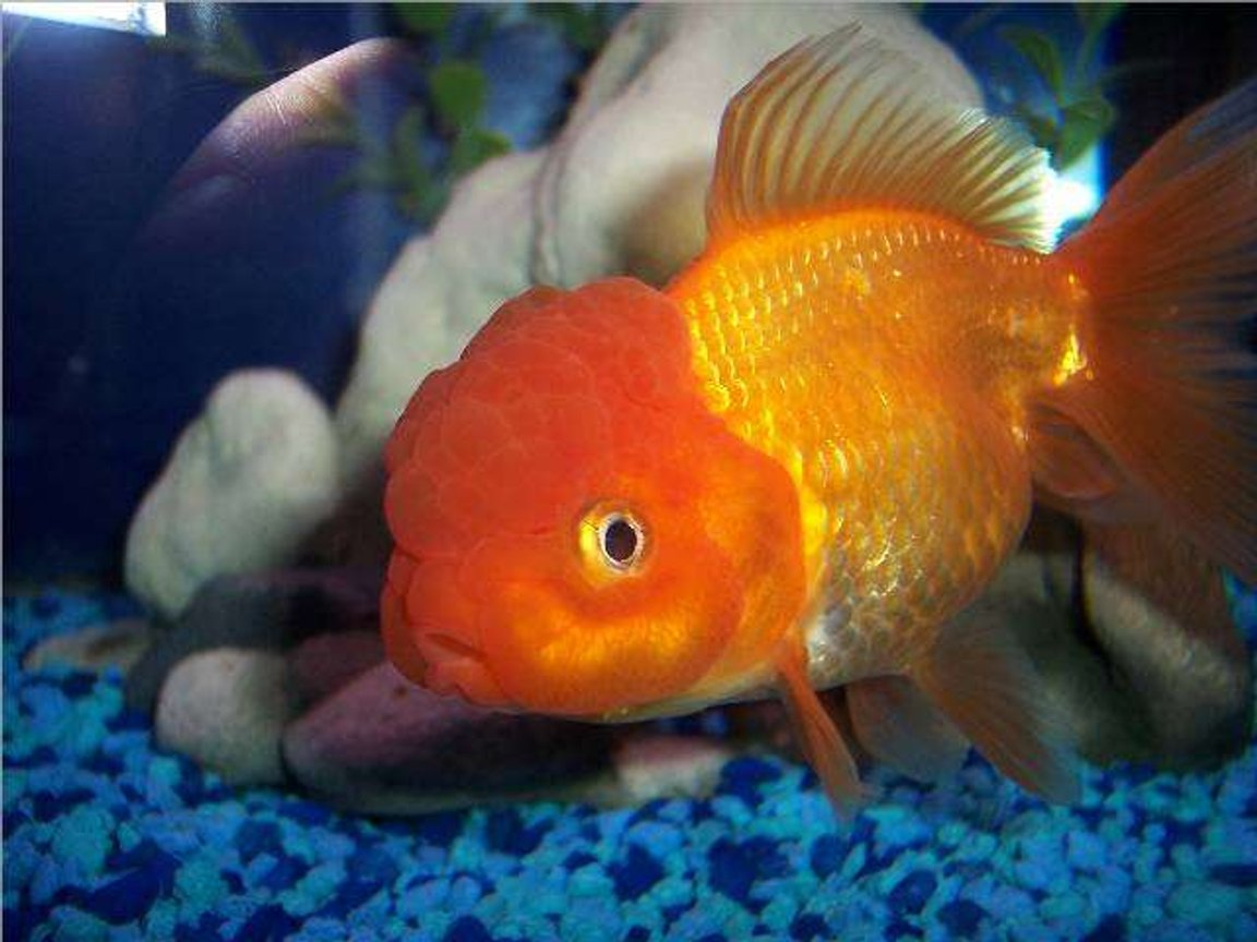 freshwater fish - carassius auratus - red oranda goldfish stocking in 72 gallons tank - Goldfish, Red Oranda