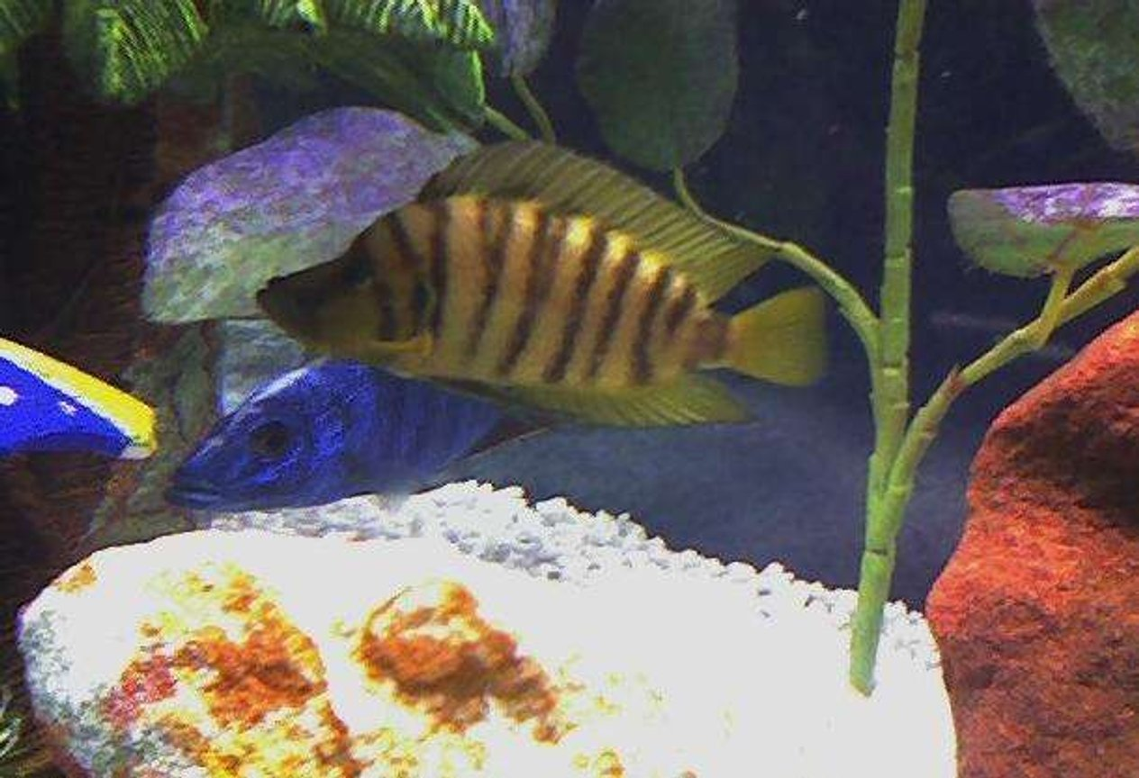 freshwater fish - altolamprologus compressicep - gold head compressicep cichlid stocking in 46 gallons tank - Caught in the wild, Lamp Compressiceps