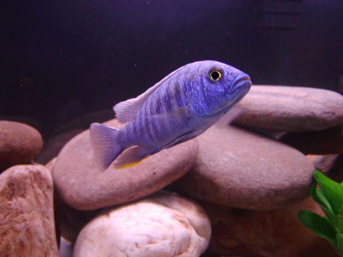 freshwater fish - sciaenochromis fryeri - electric blue hap stocking in 75 gallons tank - Freyeri