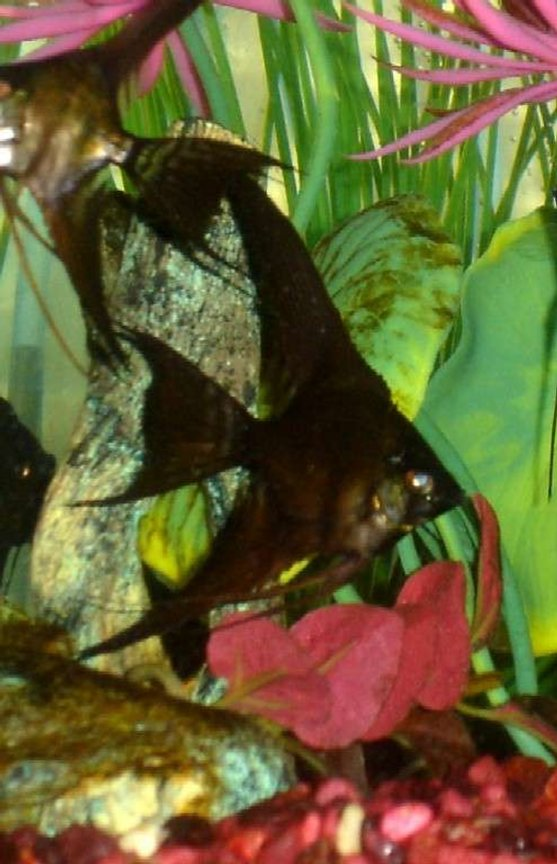 freshwater fish - pterophyllum sp. - black veil angel stocking in 60 gallons tank - Doubleblack-lace veil tail angelfish