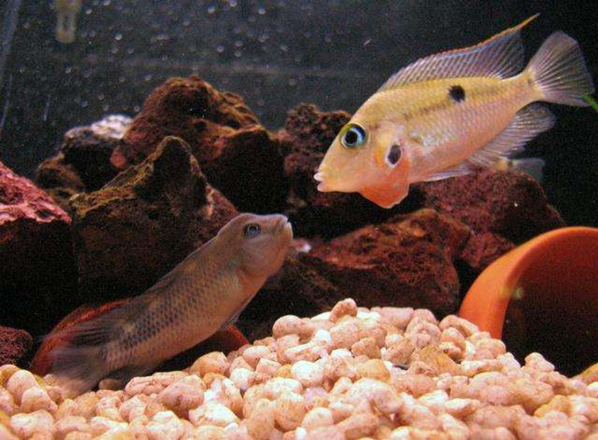 freshwater fish - thorichthys meeki - firemouth cichlid stocking in 50 gallons tank - Buffalo head VS Firemouth