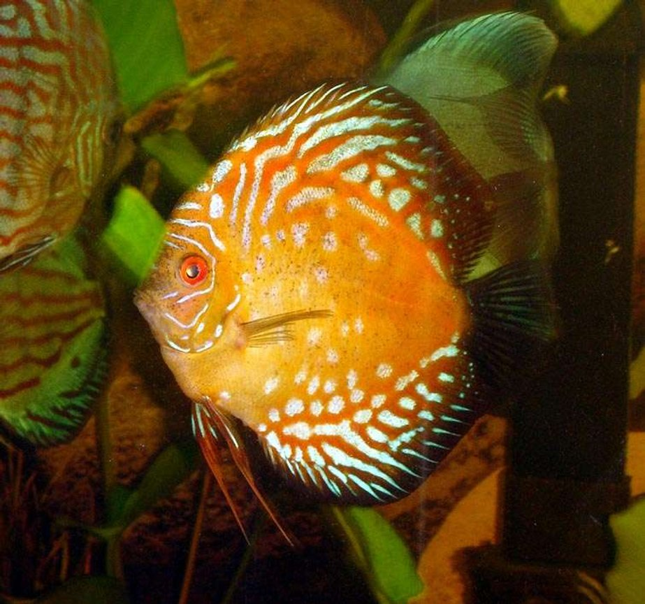 freshwater fish - symphysodon spp. - snakeskin discus stocking in 72 gallons tank - Discus