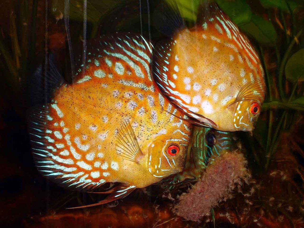 freshwater fish - symphysodon spp. - pigeon blood discus stocking in 72 gallons tank - Discus Eating