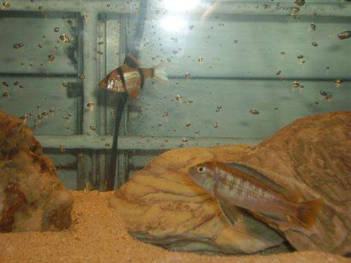 freshwater fish - puntius tetrazona - tiger barb stocking in 10 gallons tank - tiger barb and cichlid