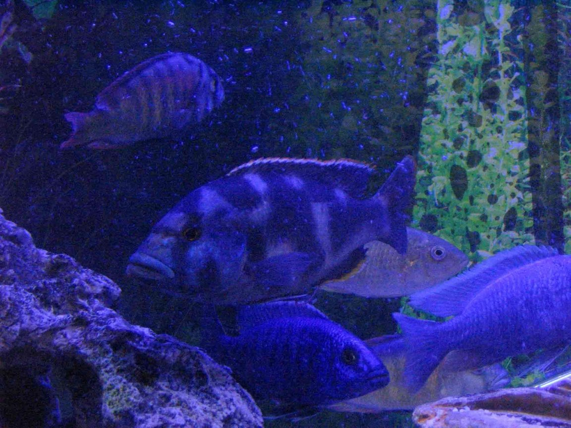 freshwater fish - nimbochromis venustus - venustus cichlid stocking in 4 gallons tank - My African cichlids