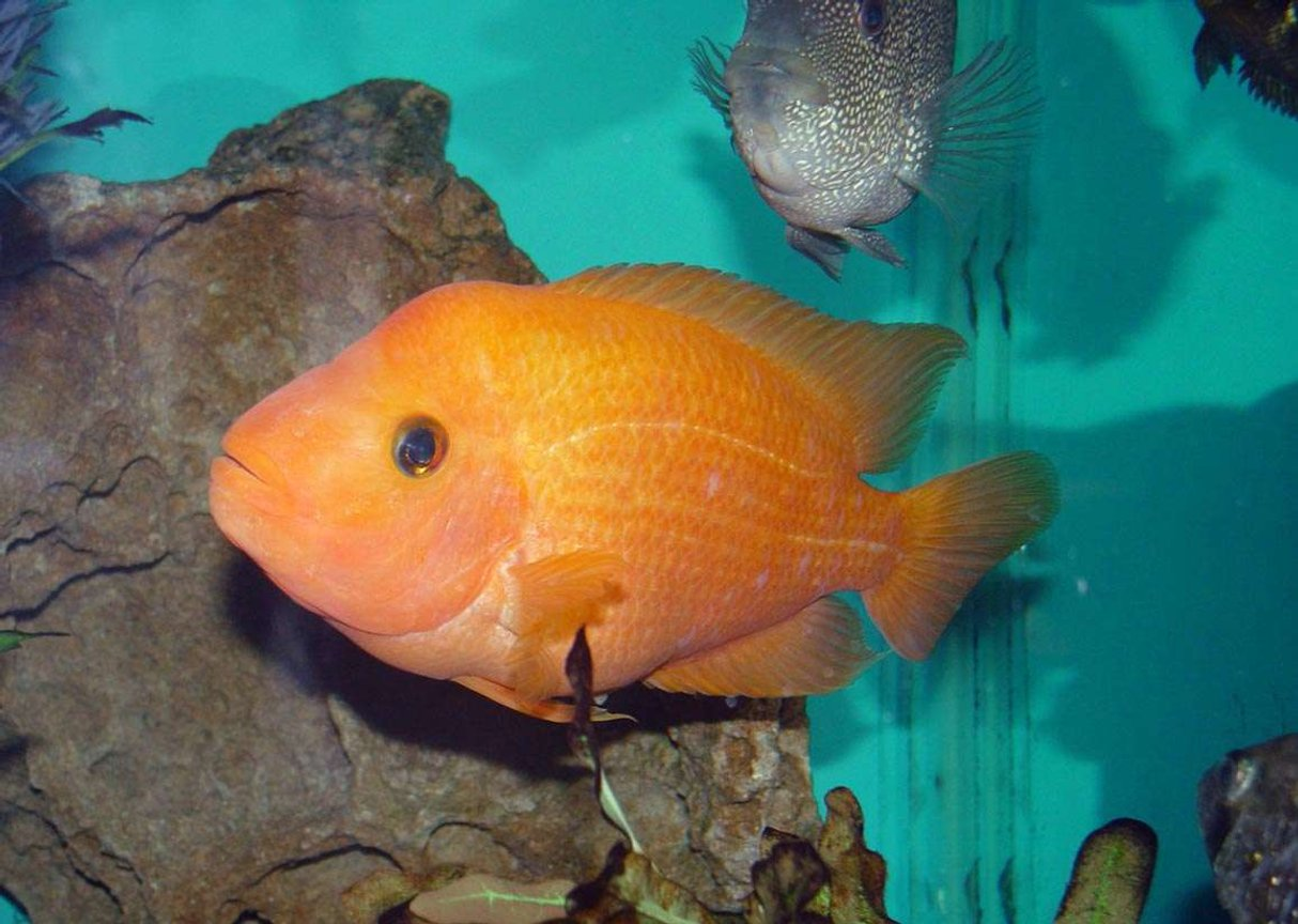 "freshwater fish - amphilophus labiatus - red devil stocking in 150 gallons tank - Red Devil (Amphilophus labiatus). 7"" long. Great addition to my 150gal. tank with other cichlids."
