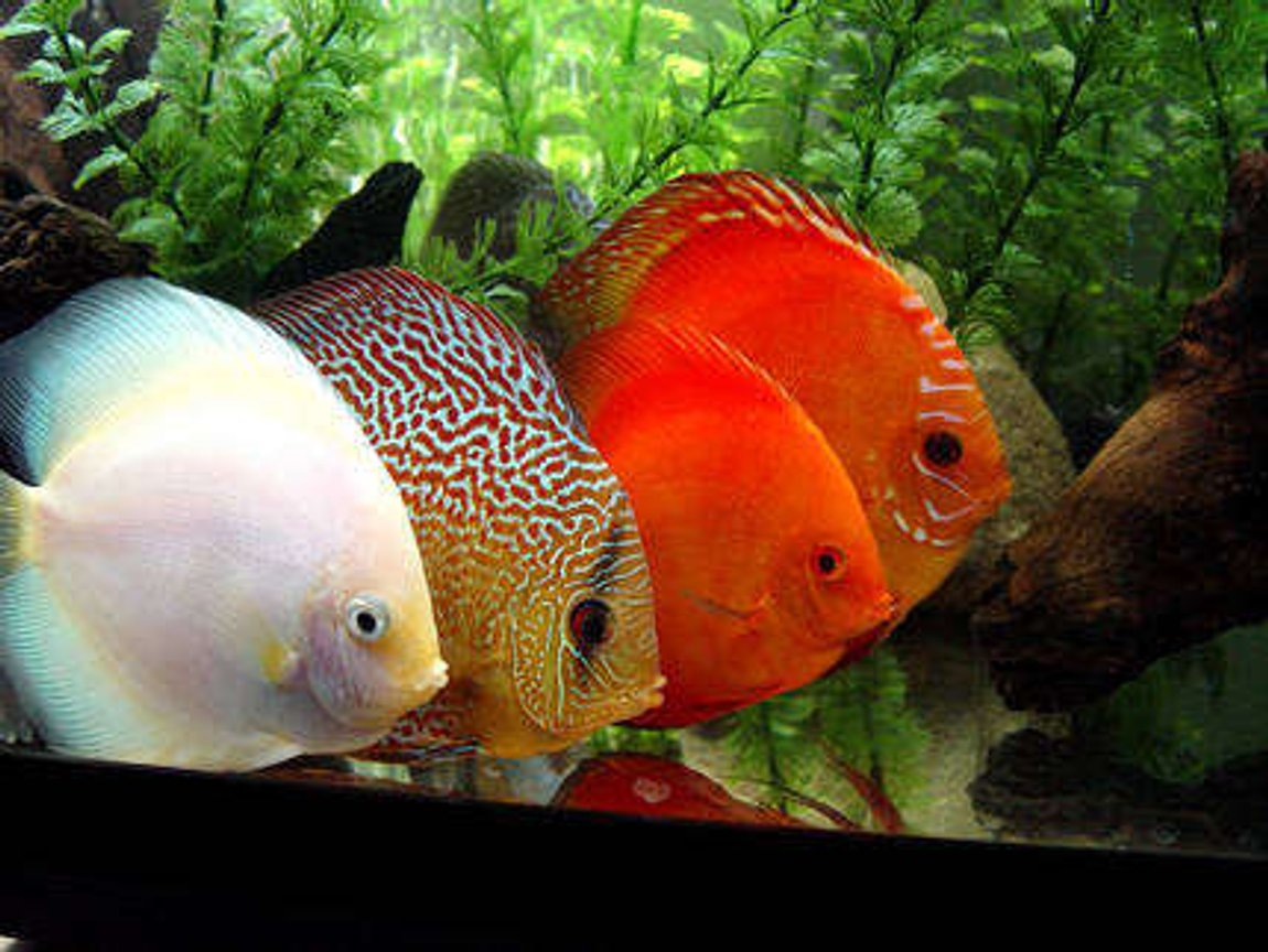 freshwater fish - symphysodon sp. - snow white discus stocking in 60 gallons tank - Four Adults Only!!! White Diamond, Checkerboard, Scarlet, and Pigeon Blood.