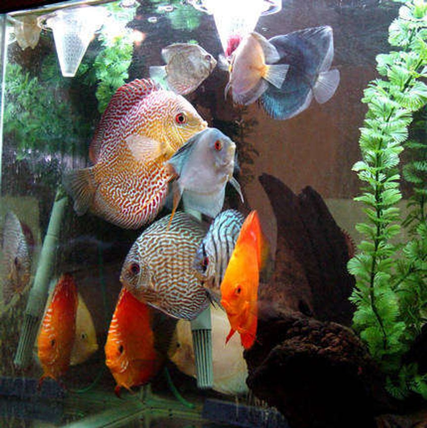 freshwater fish - symphysodon spp. - red turquoise discus stocking in 60 gallons tank - Discus Tornado forms whenever suppertime arrives.