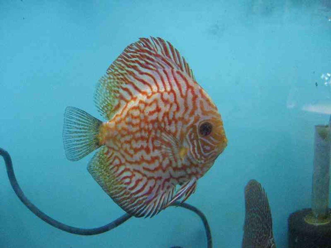 freshwater fish - symphysodon spp. - snakeskin discus stocking in 40 gallons tank - Pigeon checker board