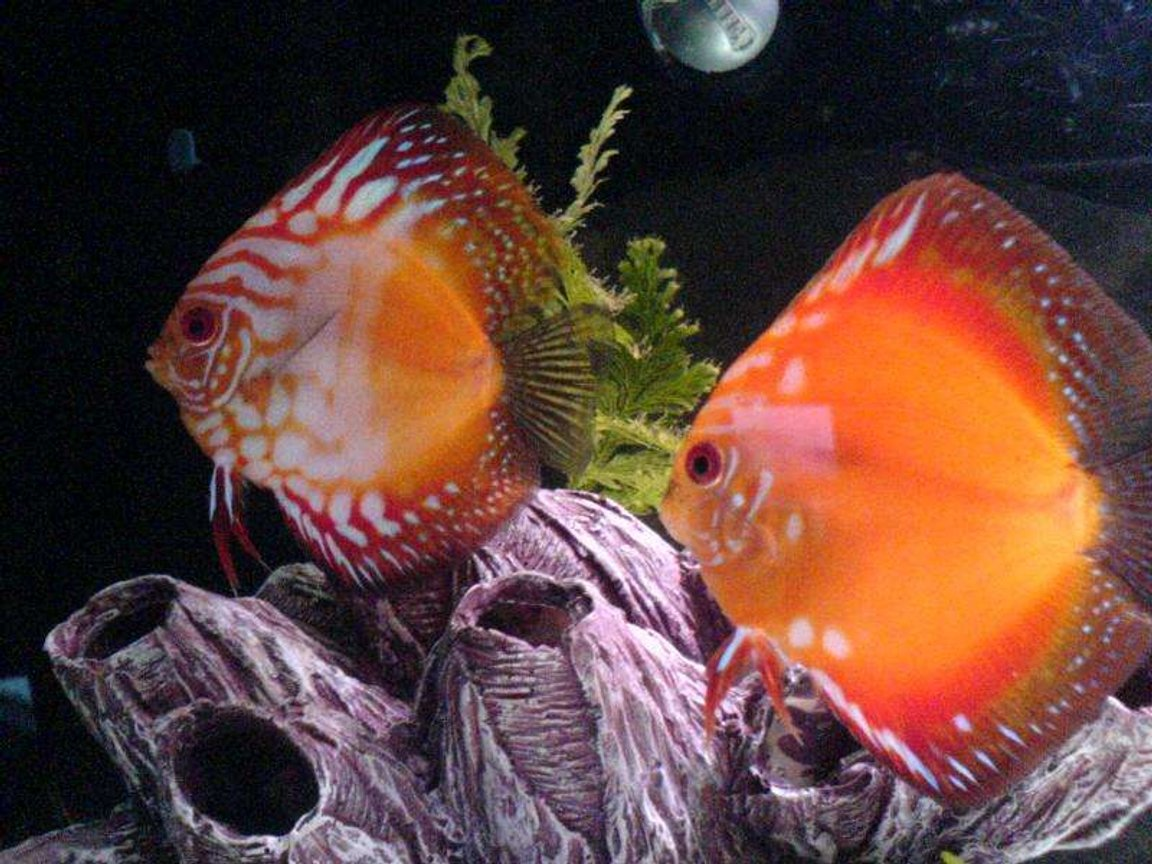 freshwater fish - symphysodon sp. - royal red discus stocking in 30 gallons tank - 2 red discus, breeding pair