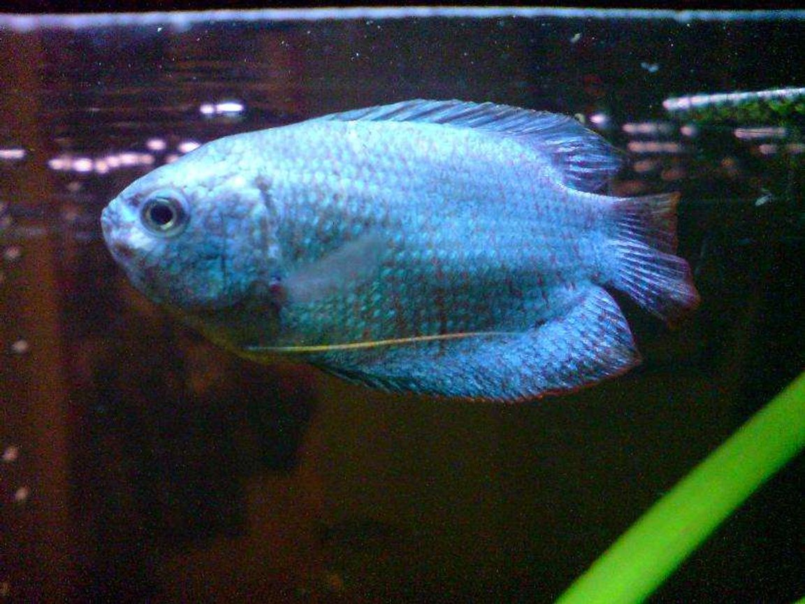 freshwater fish - colisa lalia - neon blue dwarf gourami stocking in 15 gallons tank - My Brothers Female dwarf gourami :)