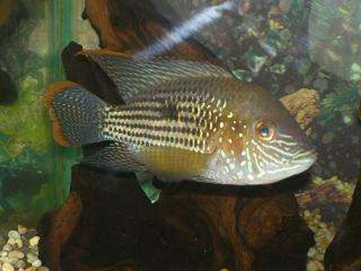 freshwater fish - aequidens rivulatus - green terror stocking in 50 gallons tank - Green Terror