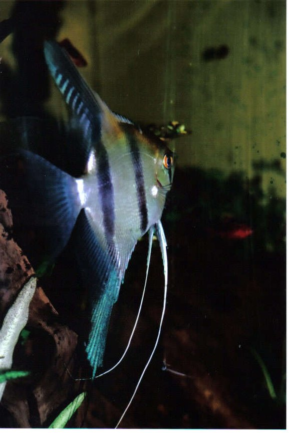 freshwater fish - pterophyllum sp. - silver zebra angel stocking in 55 gallons tank - Beautiful angel with blue patterns in the back Fin