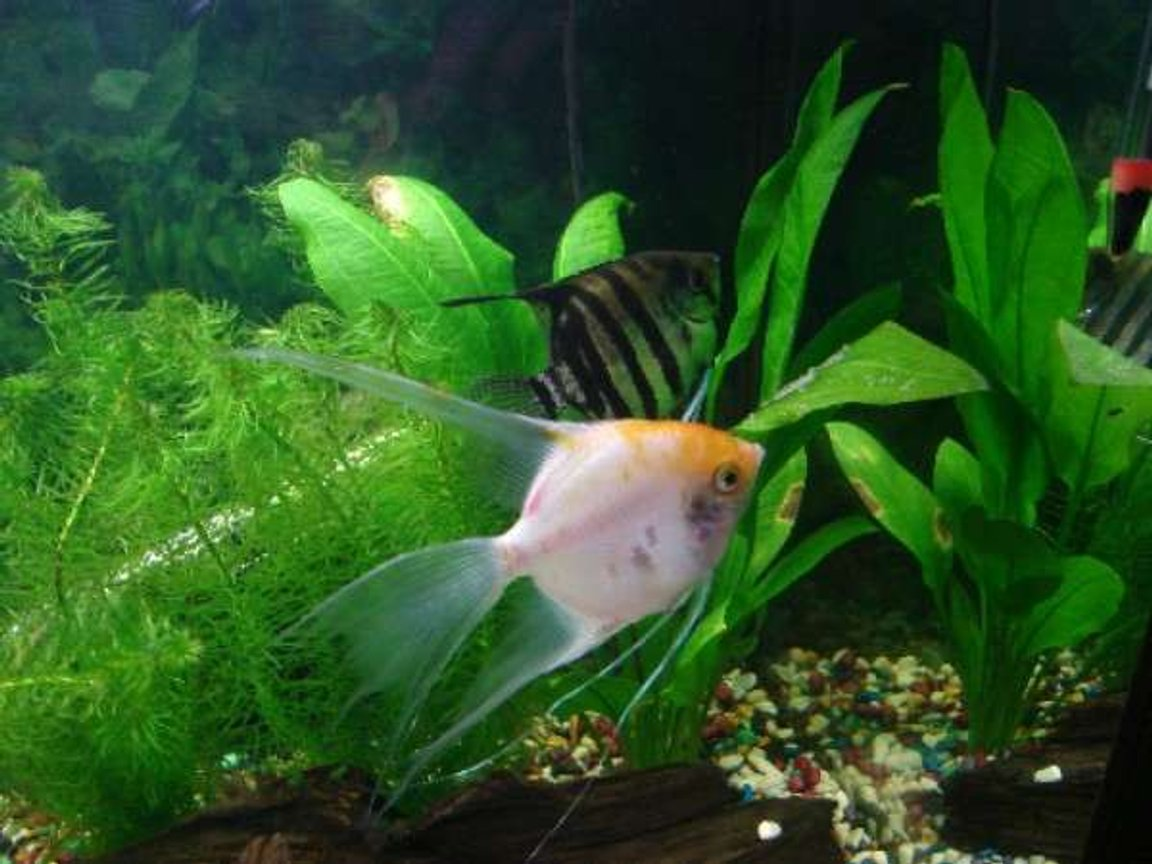 freshwater fish - pterophyllum sp. - white blushing angel stocking in 33 gallons tank - My Angels!