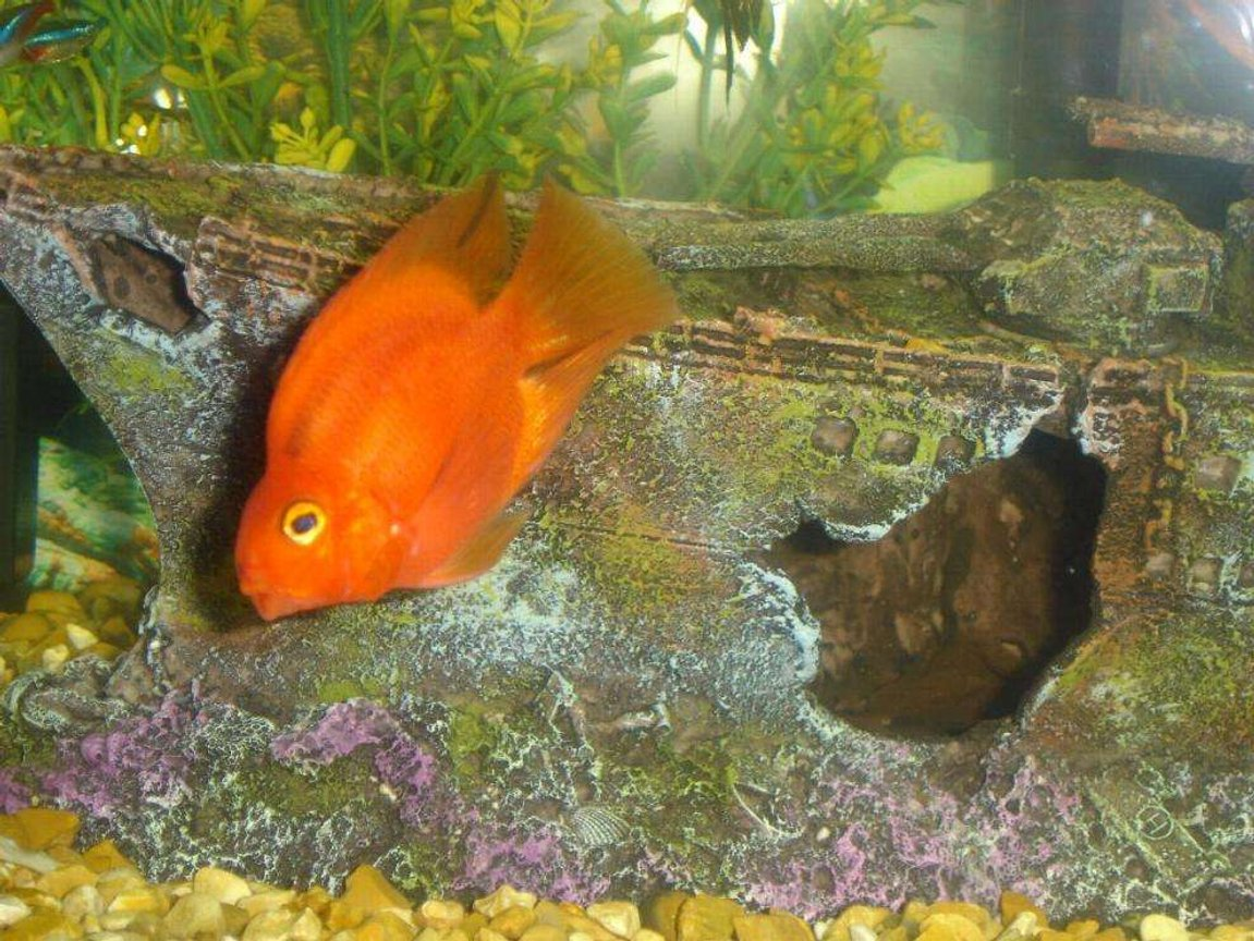 freshwater fish - heros severus x amphilophus citrinellum - blood parrot stocking in 110 gallons tank - my blood parrot cichlid