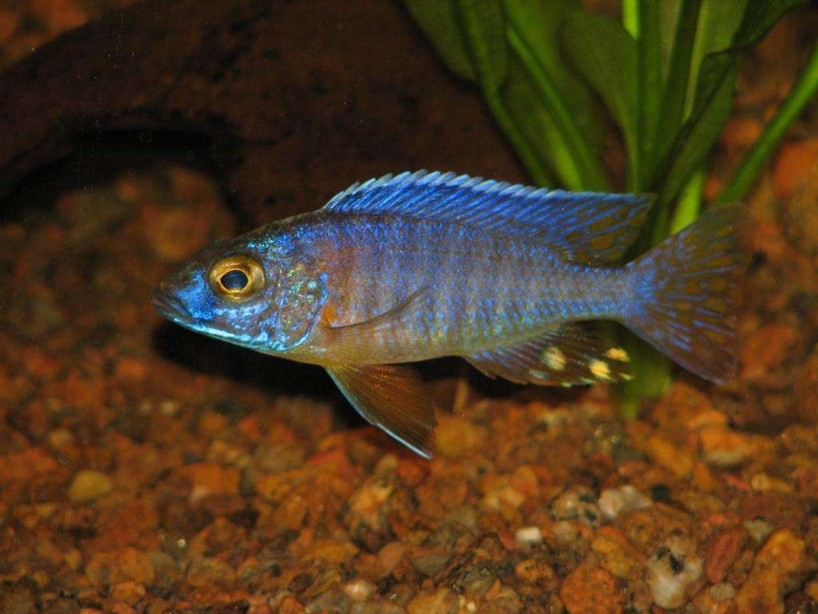freshwater fish - aulonocara jacobfreibergi - otter point peacock stocking in 50 gallons tank - Peacock