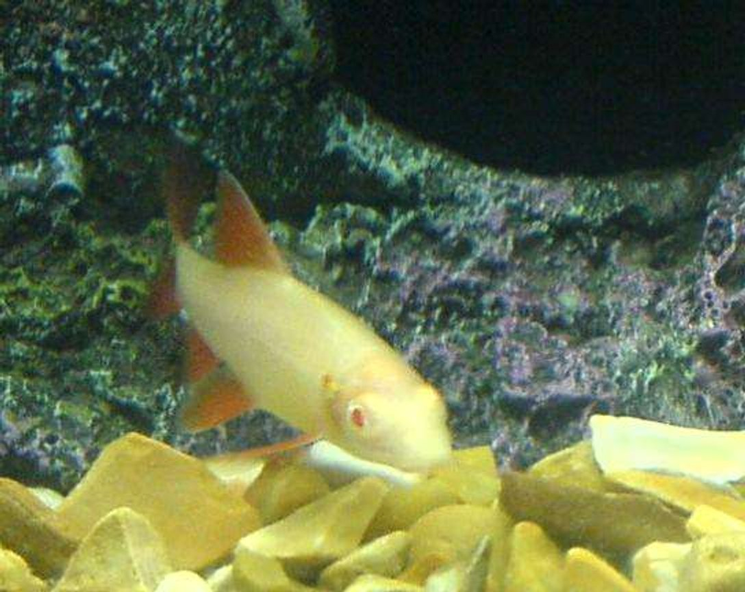 freshwater fish - epalzeorhynchos frenatus - albino rainbow shark stocking in 110 gallons tank - my albino shark