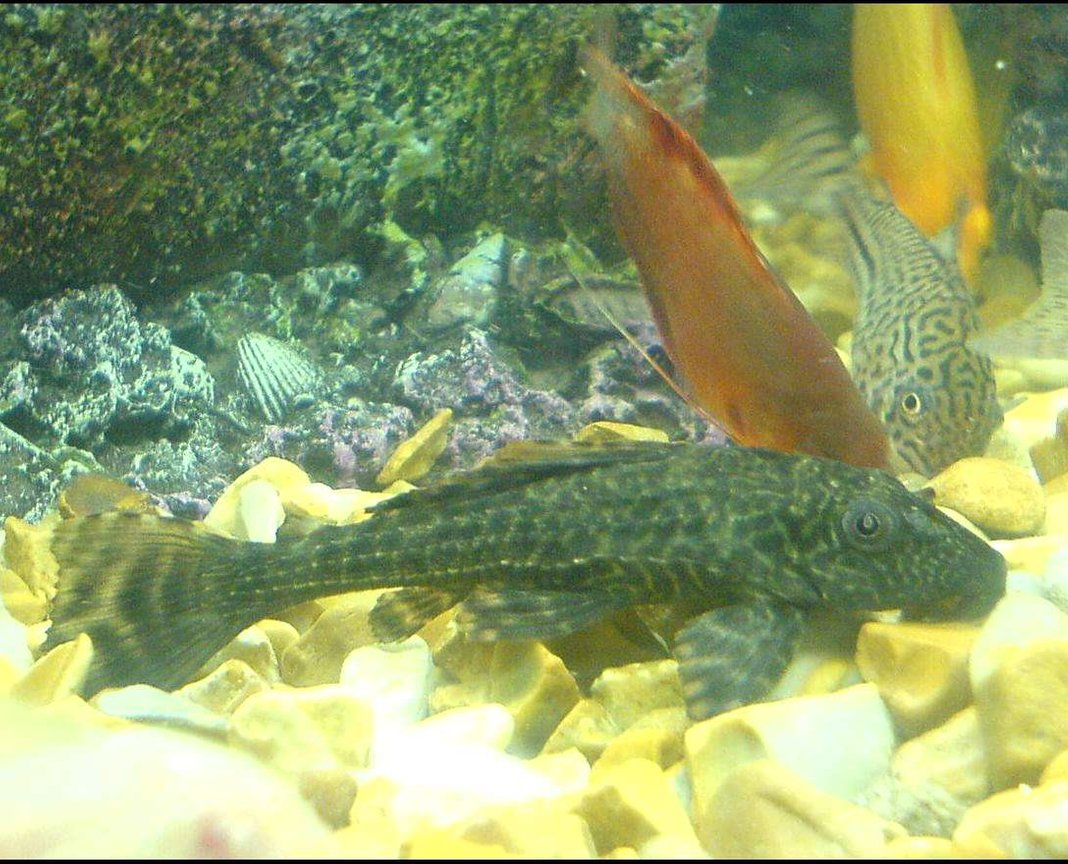 freshwater fish - glyptoperichthys gibbiceps - sailfin pleco (l-83) stocking in 110 gallons tank - the pleco giving me the stare of death...lol