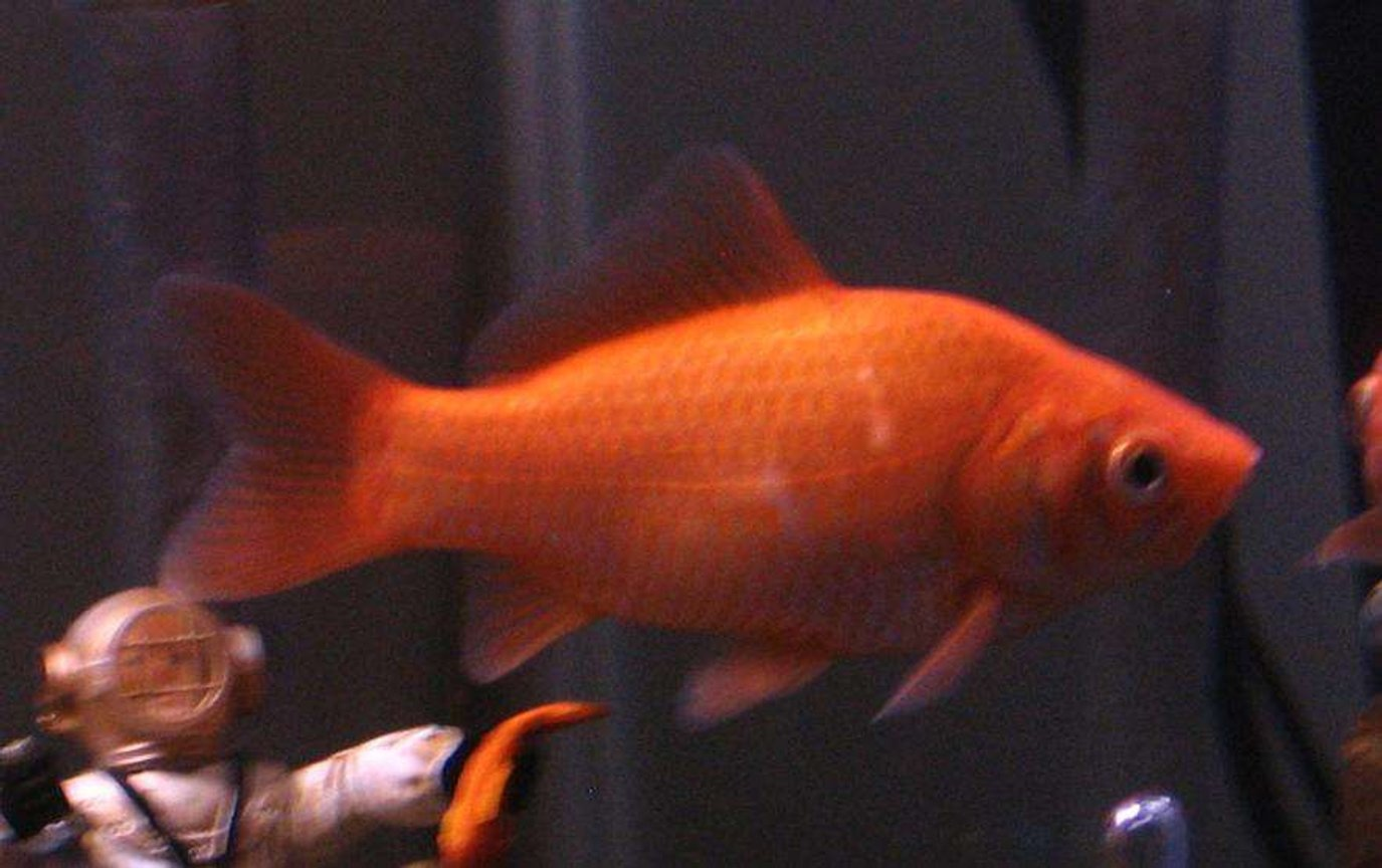 freshwater fish - carassius auratus - goldfish stocking in 30 gallons tank - My six inch long common goldfish, he is 3-1/2 years old