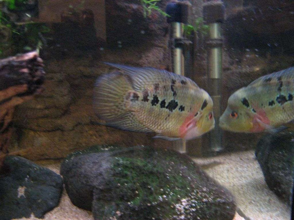 freshwater fish - cichlasoma sp. - flower horn cichlid stocking in 90 gallons tank - my flowerhorn...Bernie