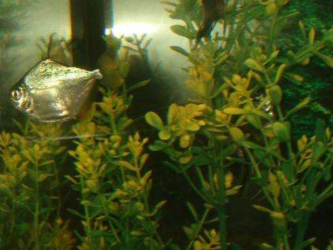 freshwater fish - metynnis argenteus - silver dollar stocking in 110 gallons tank - the dollar