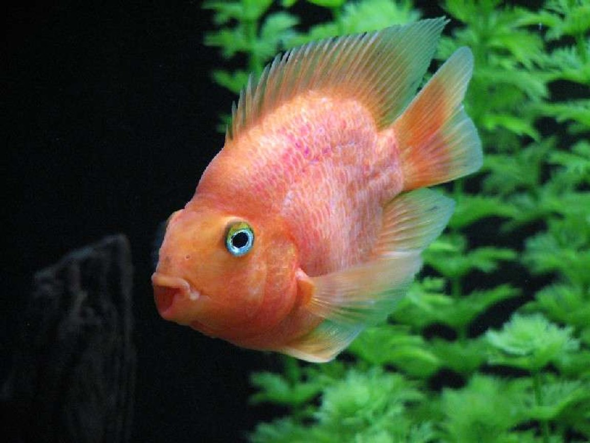 freshwater fish - heros severus x amphilophus citrinellum - blood parrot stocking in 120 gallons tank - My top model