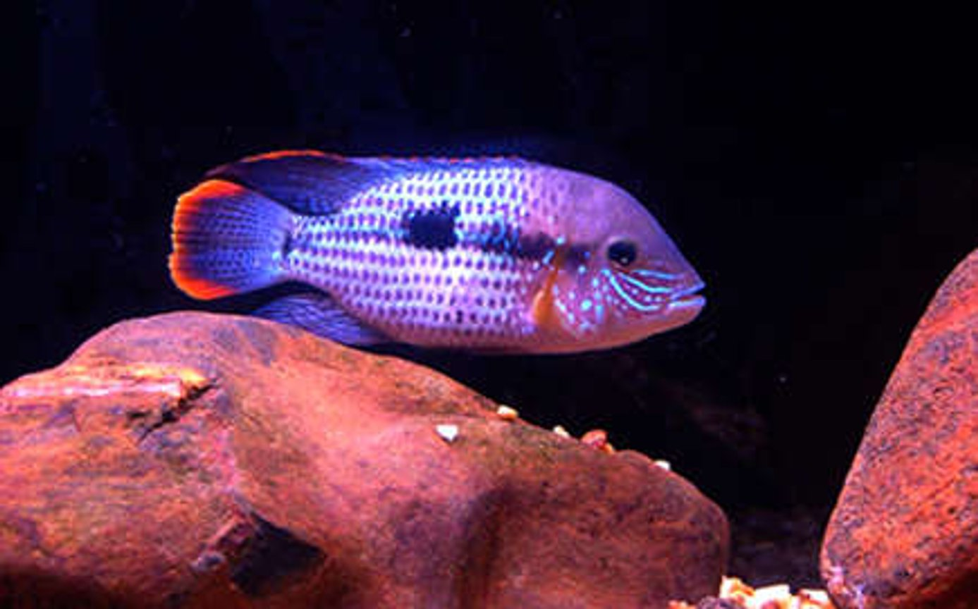 freshwater fish - aequidens rivulatus - green terror stocking in 55 gallons tank - Male Green Terror