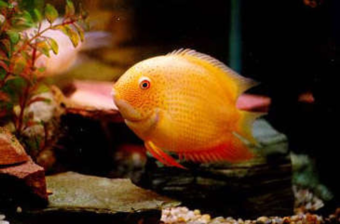 freshwater fish - heros serverus - gold severum stocking in 130 gallons tank - The Gold Severum. This was my most favorite fish. Great colors and cool personality. He would always break up fights between tankmates. Never lets any thing get out of hand. :)