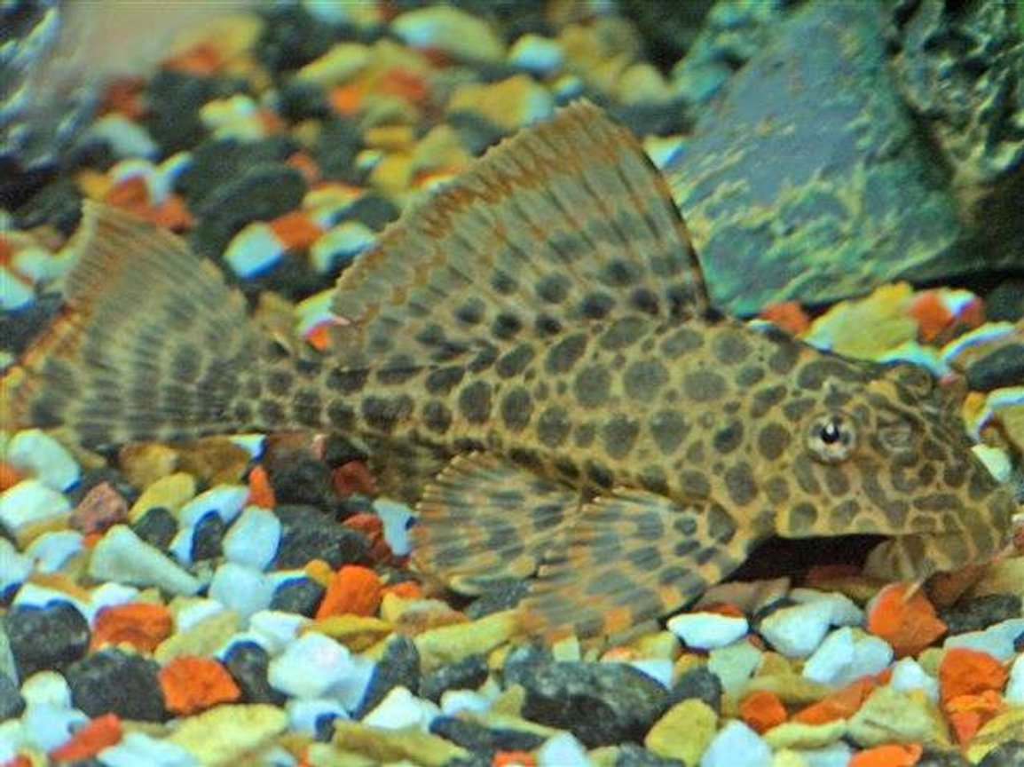 freshwater fish - hypostomus sp. - para pleco (l075) stocking in 40 gallons tank - Adult Plecostomus