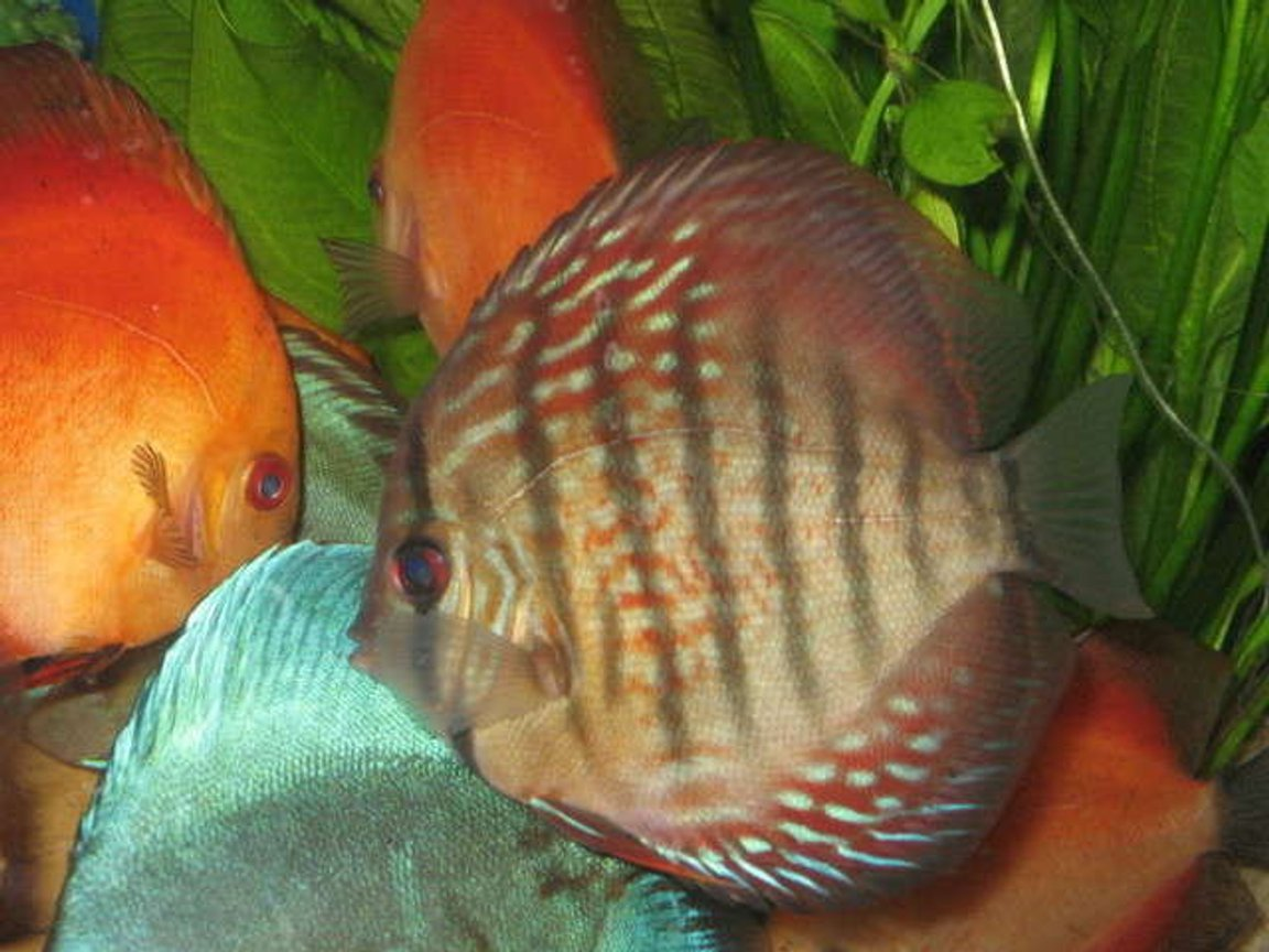 freshwater fish - symphysodon aequifasciata - royal blue discus stocking in 10 gallons tank - Beutifull Dicsus at LFS