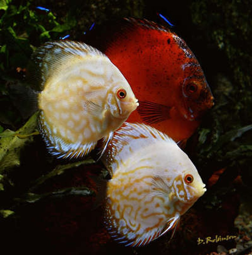 freshwater fish - symphysodon sp. - snakeskin discus stocking in 180 gallons tank - A new pair of white butterfly discus, I picked them up from Great Lakes Discus last week and they have settled right in with all of their tank mates and eating like little pigs.