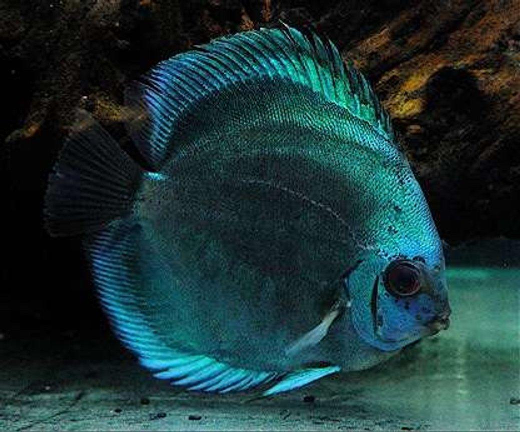 freshwater fish - symphysodon sp. - blue diamond discus stocking in 60 gallons tank - The Bluest Diamond
