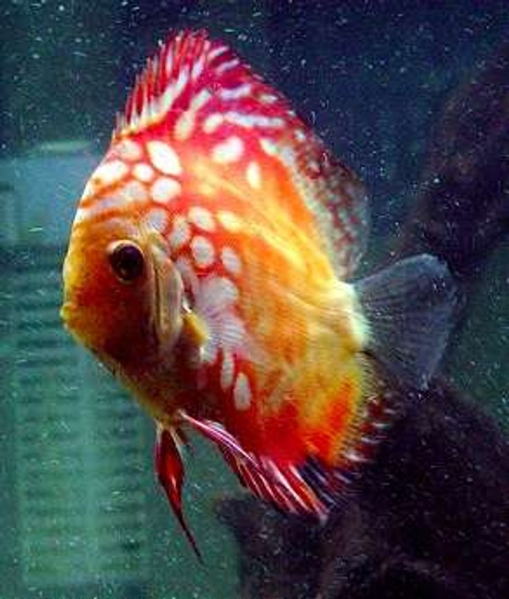 freshwater fish - symphysodon spp. - pigeon blood discus stocking in 60 gallons tank - Our Newest Little Pigeon Blood