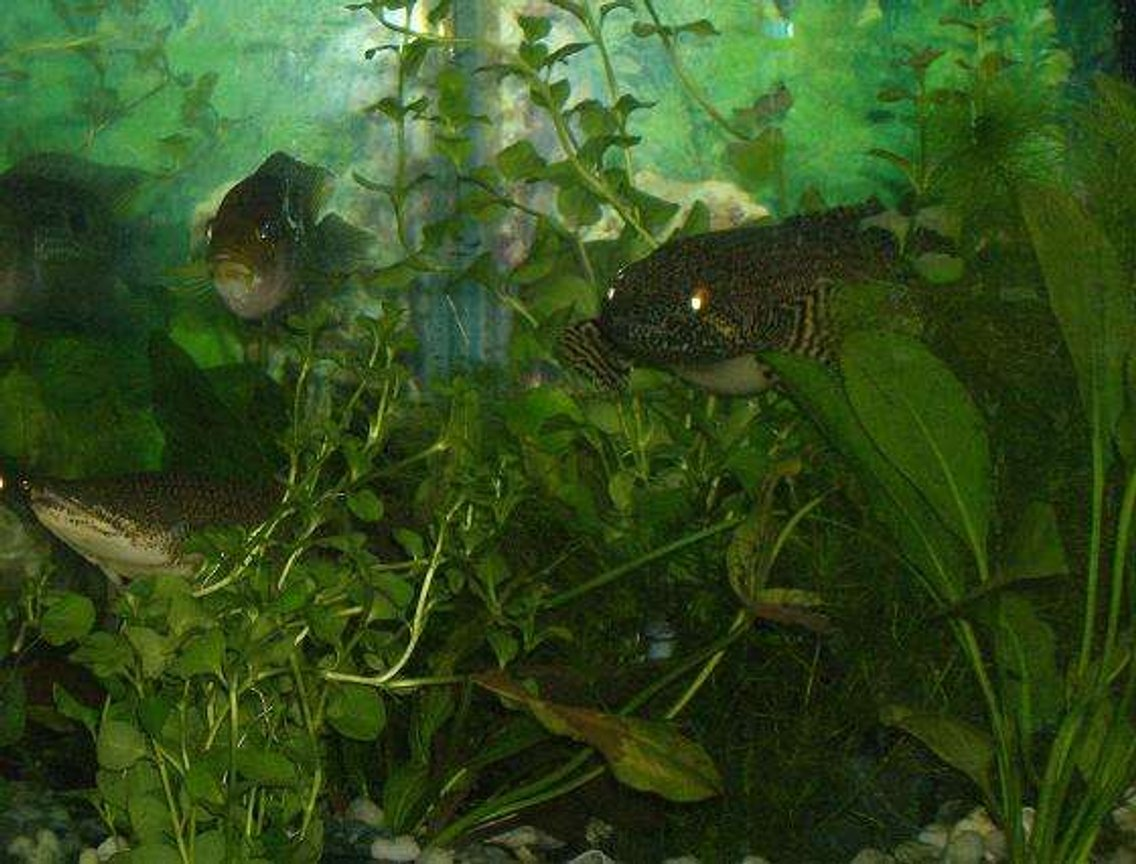 freshwater fish - nandopsis octofasciatum - jack dempsey stocking in 75 gallons tank - bichers and a jack dempsey