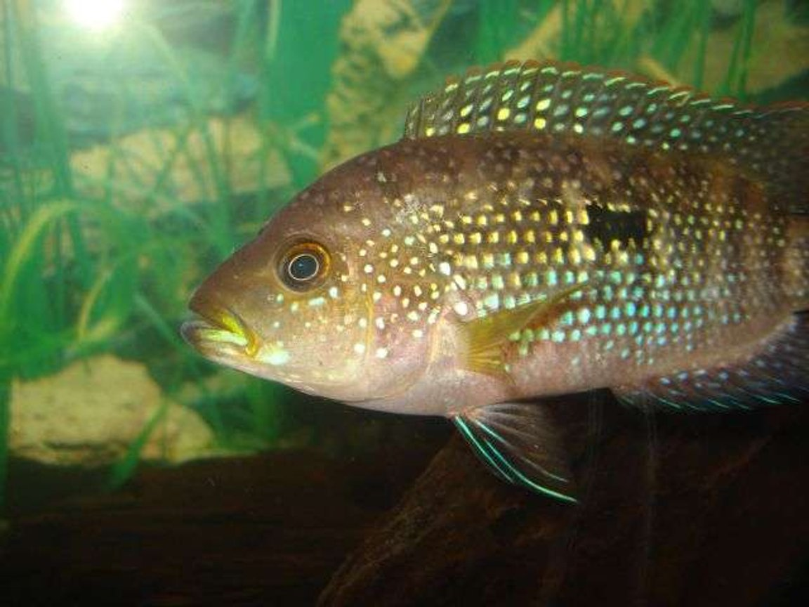 freshwater fish - aequidens rivulatus - green terror stocking in 55 gallons tank - jack dempsey