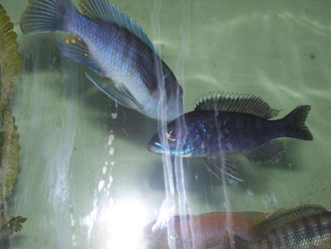 freshwater fish - sciaenochromis ahli - electric blue cichlid stocking in 55 gallons tank - Eletric Blue Ahli (female) Male Ice blue