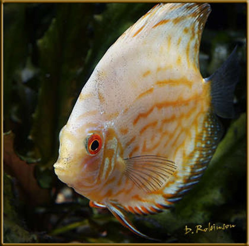 freshwater fish - symphysodon spp. - pigeon blood discus stocking in 180 gallons tank - White Butterfly Discus