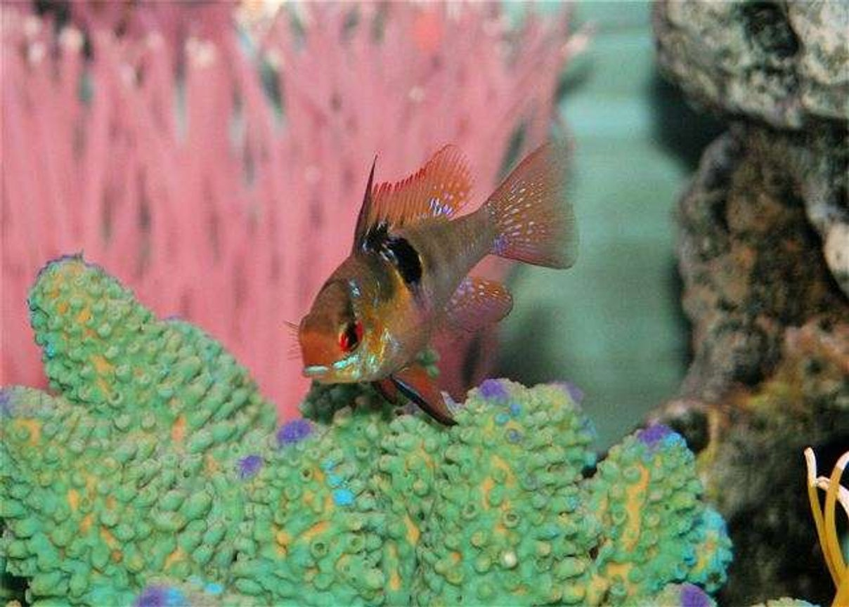 freshwater fish - papiliochromis ramirezi - german blue ram stocking in 75 gallons tank - german blue ram