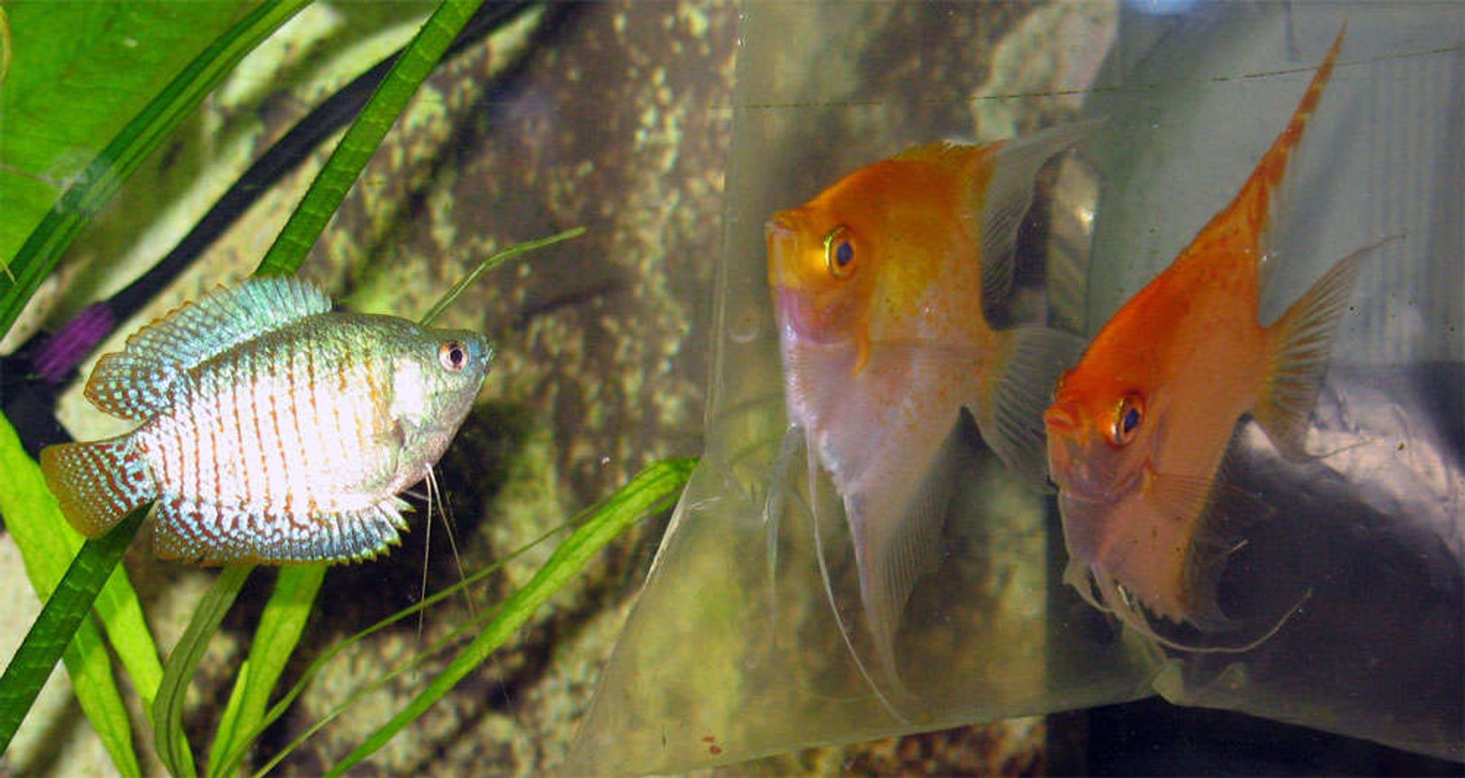 freshwater fish - colisa lalia - dwarf gourami stocking in 26 gallons tank - New friends for gaurami. I was afraid, they might fight. But no problems until now.